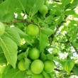 Green plums - Foto de Stock