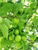 Zelené švestky — Stock fotografie