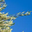Olive Tree — Stock Photo