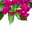 Bougainvillaes isolated — Stock Photo #31122009