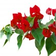 Bougainvillaes isolated — Stock Photo #31122105