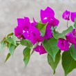 Bougainvillaes isolated — Stock Photo