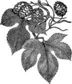 Common hop engraving — Stock Vector