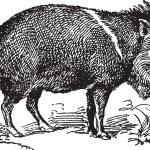 Wild Pig — Stock Vector #40041133