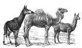Wild camels — Stock Vector