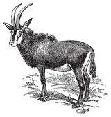Yaban keçisi — Stok Vektör