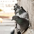 Stock Photo: Pigeons