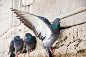 Pigeons — Stock Photo