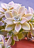 Succulent plant close up — ストック写真