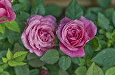 Beautiful pink roses — Stock Photo