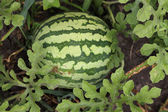 Green Watermelons with stripes On The Field — Stock Photo