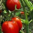 Red tomato with green leaves growing — Stock Photo
