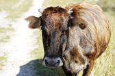 Mucca camminando sul prato di montagna — Foto Stock