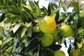 Naranja verde que crece en la rama de un árbol — Foto de Stock