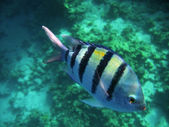 Tropical exotic fishes underwater. The Red sea — Zdjęcie stockowe