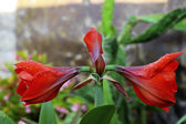 雨后滴眼液的绽放红色 amarilis 及水 — 图库照片