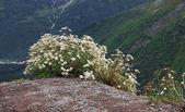 Paisaje de la montaña del cáucaso y bush de camomiles — Foto de Stock
