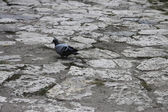 Grey pigeon walking on the stone road — Stock Photo