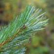 Water drops on fir tree after rain — Stock Photo #35562249