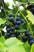 A black grape hanging on the branch — Stock Photo