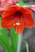 Gotas de agua y amarilis flor roja después de la lluvia — Foto de Stock