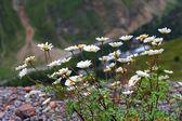 Caucasus mountain landscape and bush of camomiles — Stock Photo