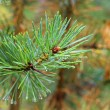 Water drops on fir tree after rain — Stock Photo