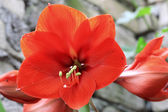 Blooming red amarilis and water drops after rain — Stock Photo