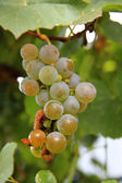 A White Grape Bunch ready for harvest — Stock Photo