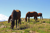 Horses on the summer autumn caucasus meadow — Stock Photo
