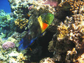 Tropical exotic fish in the Red sea. Cheilinus lunulatus — Stok fotoğraf