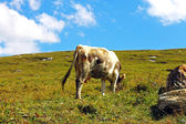 Lonely Cow On The Caucasus Mountain Grassland — Стоковое фото