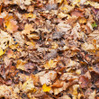 Yellow red orange maple leaf litter — Stock Photo