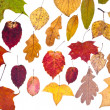 Leaf fall from pied autumn leaves — Stock Photo
