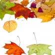 Two maple and many deciduous leaves — Stock Photo