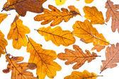 Dried autumn oak leaves — Stock Photo