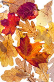 Dried autumn maple and oak leaves — Stock Photo