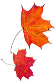 Two autumn red maple leaves — Stock Photo