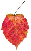 Autumn red aspen leaf — Stock Photo