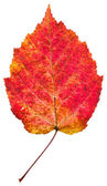 One autumn red aspen leaf — Stock Photo