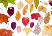 Leaf fall from autumn leaves — Stock Photo