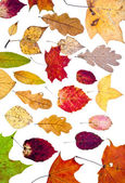 Many loose autumn leaves — Stock Photo
