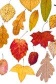 Deciduous autumn leaves — Stock Photo