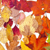 Many autumn leaves — Stock Photo