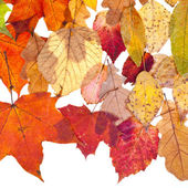 Many deciduous leaves — Stock Photo