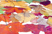 Leaf litter from deciduous leaves — Stock Photo
