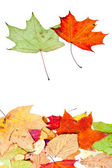 Two maple and many dead leaves — Stock Photo