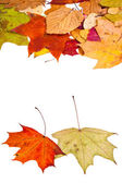 Two maple and many loose leaves — Stock Photo