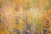 Birch in colorful autumn forest — Stock Photo