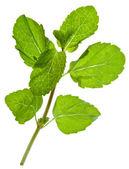绿色的新鲜薄荷叶 — 图库照片